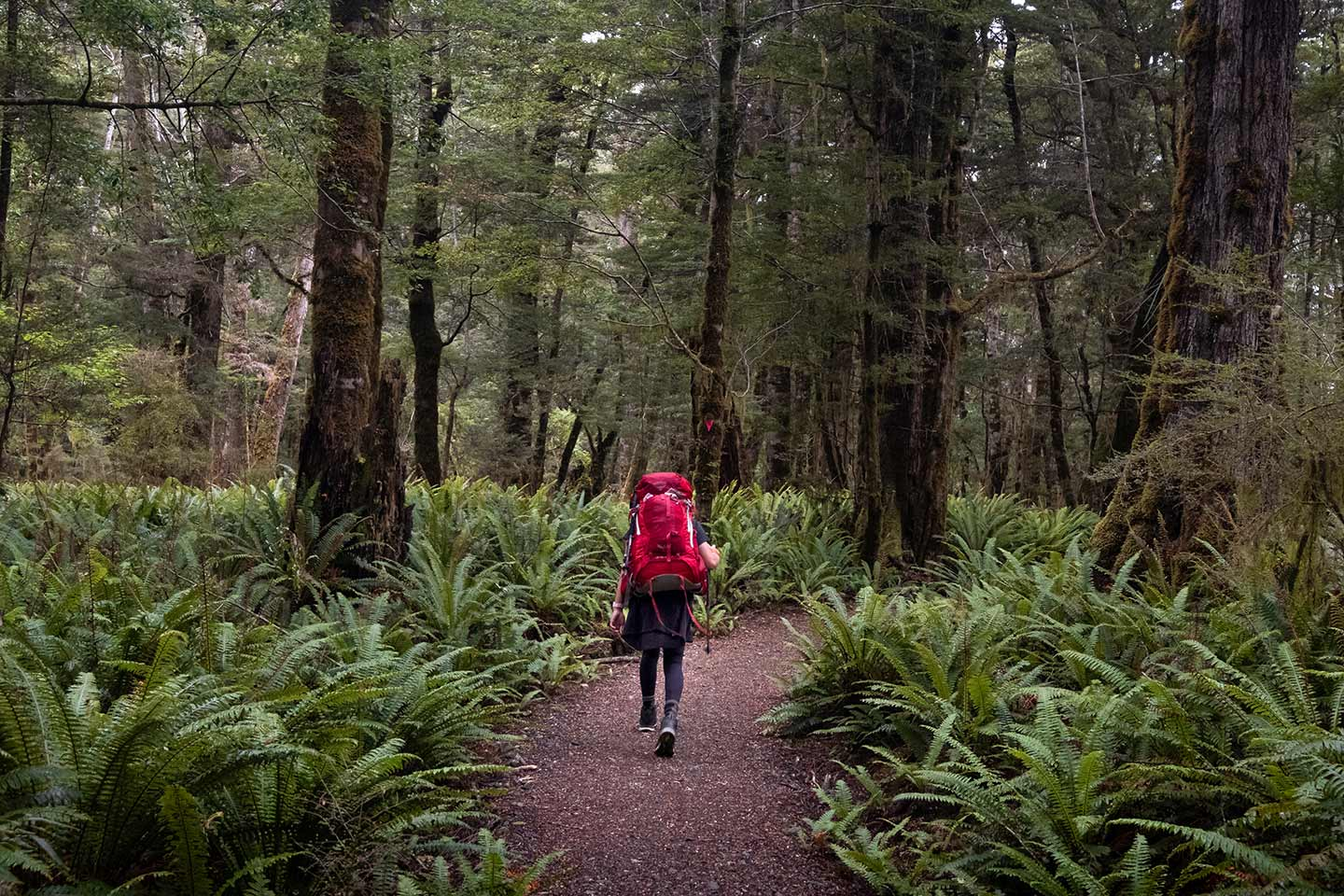 A woman with a large red backpack walks along a path. Either side of her the ground is covered in bright green ferns.